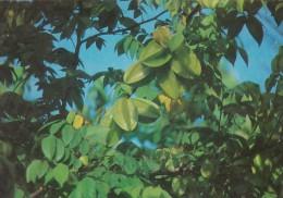 Palau Edobo Temengil Sim Ra Rodech Star Fruit - Palau