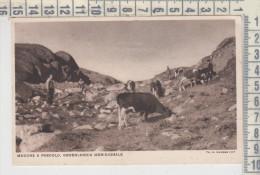 Groenlandia Photo Krabbe  Mucche A Pascolo Cows Grazing  Tauri Tori - Groenlandia