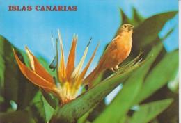 (AN) CANARY BIRD. OISEAUX. PAJARO - Vogels