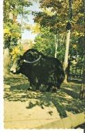 Parc Zoologique Granby, Quebec  Zoological Park Yak Asie Centrale Wild Yak Central Asia - Granby