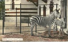 ZEBRE ANIMAL  BASEL BALE SUISSE  ZOO  ZOOLGO GARTEN ZEBRA  N° 35711 EDIT. G. METZ - Zèbres