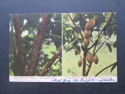 Ansichtskarte Republica De Panama. 1907 In Die Schweiz. A Cocoa Tree In Bloom. A Sample Of Cocoa Pods. Dr. Prima's Farm - Panama