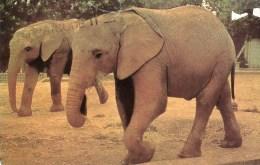 Postcard - African Elephants At Colchester Zoo. B - Elephants