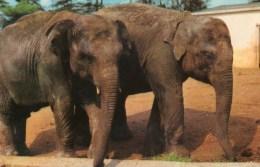 Postcard - Elephants At Colchester Zoo. R620 - Elephants