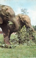 Postcard - African Elephants At London Zoo. R1356 - Elephants