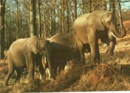 Postcard - Elephants At Longleat. CKLONL1 - Elephants