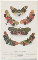 Butterflies EXOTIC HOMOPTERA Lycorma Aphaena Etc. Luxury Print Colour Card British Museum C. 1908 - Papillons