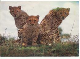 PK-CP Kenia/Kenya, African Wildlife, Gebraucht, Siehe Bilder!*) - Kenia