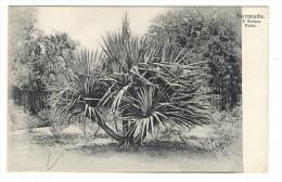 BERMUDA  ( îles  Bermudes ) /  A  SCREW  PALM  ( Arbre Tropical ) /  CPA  PRECURSEUR  ( éditée Avant 1904 ) . - Bermuda