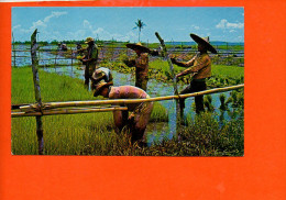 Philippines - Farmers At The Rice Seedlings Beds   (non écrite Et Non Oblitérée) - Philippines