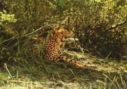 A 3469 -  Animali Leopardi - Other
