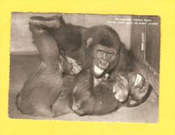 Postcard - Gorilla, ZOO Basel    (V 27316) - Monkeys