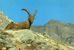 A 3496 -  Animali Stambecchi - Other