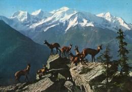 A 3500 -  Animali Camosci - Other