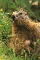 A 3511 -  Animali Marmotte - Other