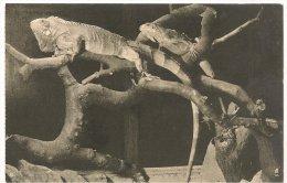 L30C.19 - Jardin Des Plantes  -  Iguanes - Animals