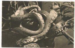 L30C.20 - Jardin Des Plantes  -  Couleuvre à Collier - Animals