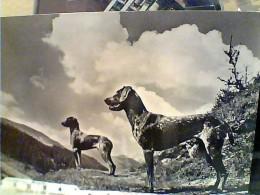 CANE DOG CANI  DOGS  CACCIA   VB1960 FD7580 - Hunde