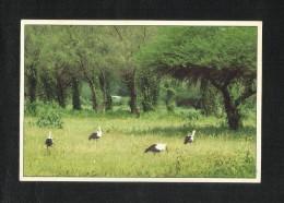 Oman Picture Postcard Birds At Wadi  View Card - Oman