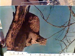 LEOPARD  LEOPARDO AFRICA   S1972 FE7626 - Leoni