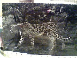 GHEPARDO MOMBASA EAST AFROCA CHEETHA  VB1955  FE7750 - Leoni