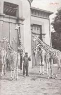 CPA  ANVERS JARDIN ZOOLOGIQUE  GIRAFS GIRAFES - Giraffes
