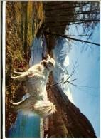 """CPMGF Arum Ed C 235 """"Altesse"""" Chienne Des Pyrénées Sur Les Bords De La Neste D'Aure 1989 - Hunde"""