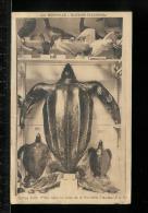 La Rochelle - Muséum Fleurieau - Tortue Luth Prise Dans La Rade De La Rochelle - Oiseaux - Fou De Bassan - La Rochelle