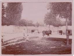 CARRIERES SAINT DENIS 1898 - Vaches Venant De L'Abreuvoir (78) - France