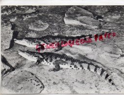 MADAGASCAR - CROCODILUS NILOTICUS - JEUNES NES A L´ AQUARIUM DU MUSEE EN 1957 CROCODILE - Madagascar