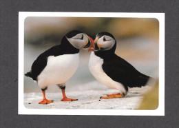 ANIMALS - ANIMAUX - OISEAUX - BIRDS - COMMON ( ATLANTIC ) PUFFIN - BEAUTIFUL SEABIRD - PHOTOGRAPH ROY DELONGA - Oiseaux