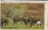 PO3984D# COSTA D'AVORIO - TROUPEAU DE BUFFLES - BUFALI  VG 1970 - Costa D'Avorio