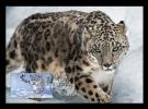 Maxicard Kyrgyzstan (KEP) 2014 Mih. 9 Fauna. Snow Leopard III - Kirgisistan