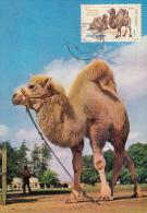 35137- BACTRIAN CAMEL, MAXIMUM CARD, 1982, ROMANIA - Francobolli