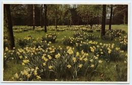LONDON : KEW GARDENS - DAFFODILS - Flowers, Plants & Trees