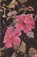 AMERIQUE---ANTILLES--VIERGES--the Hibiscus Is The Flower Of Courtship In The U  S  Virgin Islands--voir 2 Scans - Vierges (Iles), Amér.