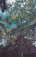 AMERIQUE---ANTILLES--PANAMA---Golden Shower Tree--balboa,  C Z --voir 2 Scans - Vierges (Iles), Amér.