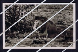 Leon Lions Selvage Faune Beira Mozambique Gorongosa Game Reserve Park Wild Animals Portugal Photo Postcards 5332 - Mozambique