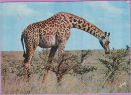 Girafe °° En Liberté Au Casse-croûte - écrite - Jirafas