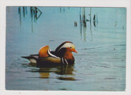 CPM - VILLARS LES DOMBES - Parc Ornithologique Départemental De La Dombes - Canard MANDARIN - - Villars-les-Dombes