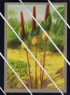 ARUM GEANT Chromos Images NºC Fiches Illustrées Flora FLOWERS FLEURS Notre CONGO BELGE De JACQUES Superchocolade 5375 - Picture Cards