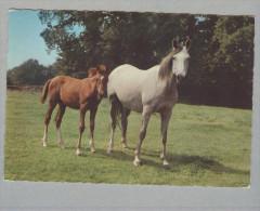 CAVALLO..CAVALLI..STALLONE..PULEDRO..HORSE...BAIO - Pferde