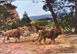 Lions.. Animaux.. Lion Lionne Réserve Africaine De Sigean Aude - Lions