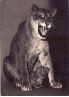 Lions.. Animaux.. Lion Une Lionne Et Son Petit - Lions