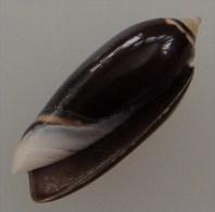 Oliva Oriola Philippines 30,8mm GEM N2 - Seashells & Snail-shells