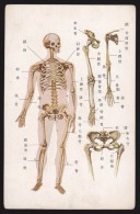 Human Anatomy - Bones, Japan's Vintage Postcard - Salute