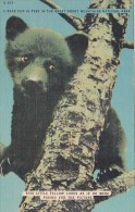 A Bear Cub In Tree In The Great Smorky Mountains National Park T