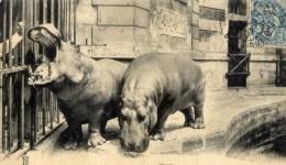 PARIS Jardin Des Plantes Hippopotame Kako Et Liza - Hippopotames