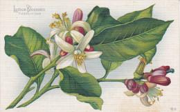 CALIFORNIA, 1900-1910's; Lemon Blossoms, Fidelity In Love - Fleurs
