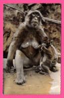 """Blida - Gorges De La Chiffa - Une Guenon """" Mère Poule """" - JOMONE - Monos"""